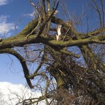 Tree Surgeon image of a storm damaged tree with broken limbs