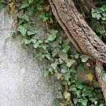 Ivy removal - ivy growing up a wall