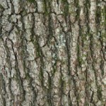 Tree identification - bark