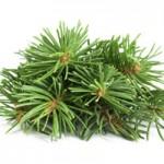 Tree identification - spruce needles