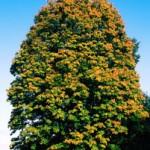 Tree identification - the Horse Chestnut Tree