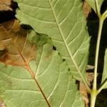 ash dieback - picture of diseased leaf
